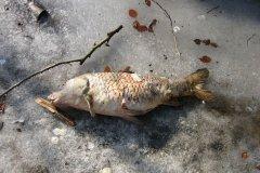 14-02-2006, Død skælkarpe, Studentersøen